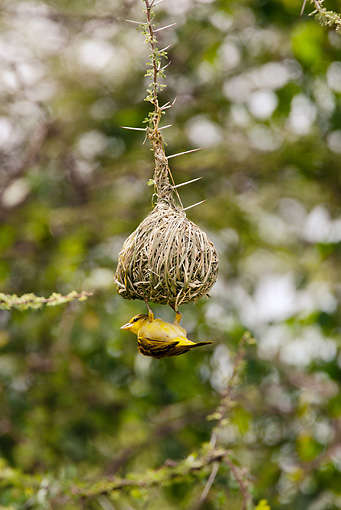 BRD 13 MC0055 01 © Kimball Stock Golden Palm Weaver Building Nest In Tree Samburu Game Reserve, Kenya