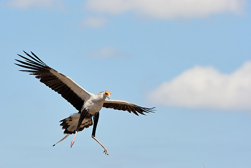 BRD 13 MC0060 01 © Kimball Stock Secretarybird Flying To Nest In Samburu Game Reserve, Kenya