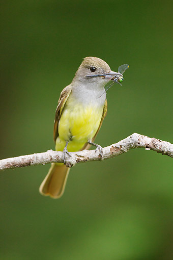 BRD 13 MC0070 01 © Kimball Stock Great Crested Flycatcher Perched On Branch Holding Insect