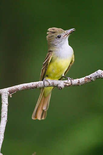 BRD 13 MC0071 01 © Kimball Stock Great Crested Flycatcher Perched On Branch Holding Insect