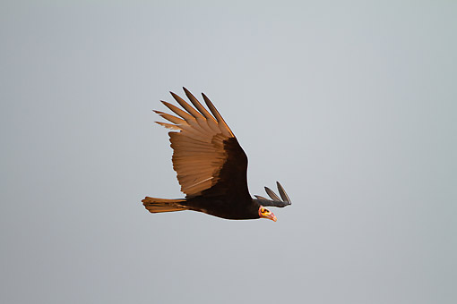 BRD 13 MC0074 01 © Kimball Stock Lesser Yellow-Headed Vulture Flying In Brazil
