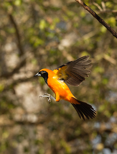 BRD 13 MC0075 01 © Kimball Stock Orange-Backed Troupial Flying In Brazil