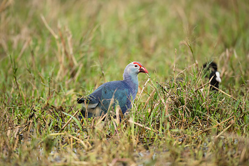 BRD 13 MC0084 01 © Kimball Stock Grey-Headed Swamphen Foraging In Water Hole, India