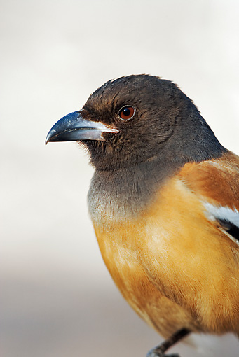 BRD 13 MH0001 01 © Kimball Stock Close Up Of Rufous Treepie