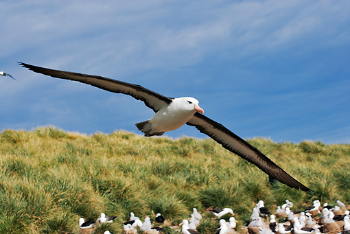 BRD 13 MH0006 01 © Kimball Stock Black-Browed Albatross Flying Falkland Islands