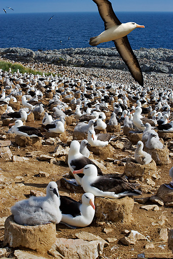 BRD 13 MH0007 01 © Kimball Stock Black-Browed Albatrosses Sitting On Rocks With One Flying Overhead Falkland Islands