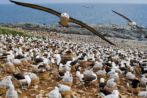 BRD 13 MH0008 01 © Kimball Stock Black-Browed Albatrosses Sitting On Rocks With Some Flying Overhead Falkland Islands