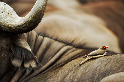 BRD 13 MH0009 01 © Kimball Stock Red-Billed Oxpecker Perched On Buffalo