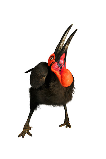 BRD 13 MH0012 01 © Kimball Stock Southern Ground Hornbill Looking Up In Studio