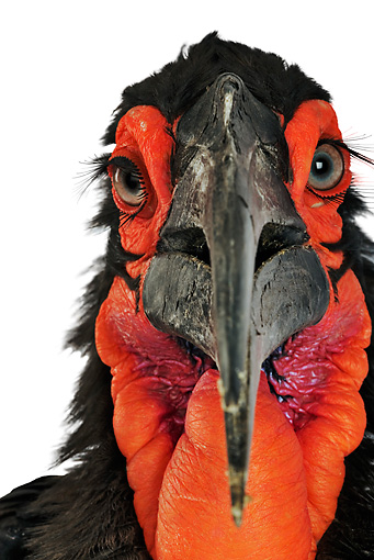 BRD 13 MH0013 01 © Kimball Stock Close Up Of Southern Ground Hornbill In Studio