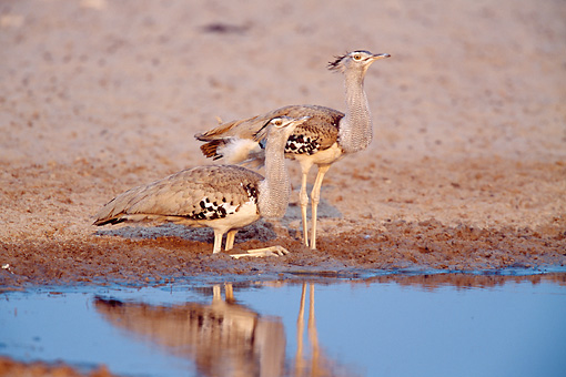BRD 13 MH0017 01 © Kimball Stock Two Kori Bustard Standing Near Puddle In Savanna At Etosha National Park Africa