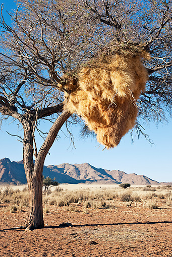 BRD 13 MH0018 01 © Kimball Stock Nesting Colony Of Sociable Weaver Birds In Desert Namibia