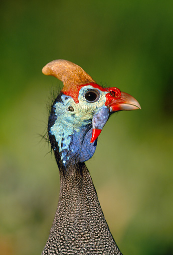 BRD 13 MH0022 01 © Kimball Stock Head Shot Of Helmeted Guineafowl