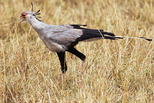 BRD 13 MH0025 01 © Kimball Stock Secretarybird Walking Though Dry Grass