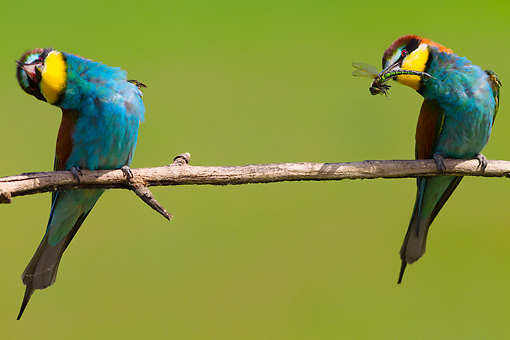 BRD 13 MH0032 01 © Kimball Stock Two European Bee-Eaters With Heads Tilted And Dragonfly On Twig