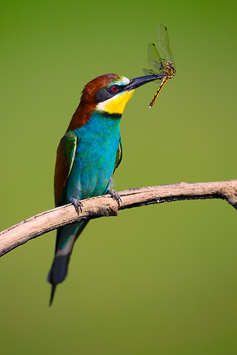 BRD 13 MH0033 01 © Kimball Stock European Bee-Eater Perched With Dragonfly On Twig