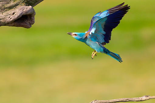 BRD 13 MH0038 01 © Kimball Stock European Roller Flying Toward Tree
