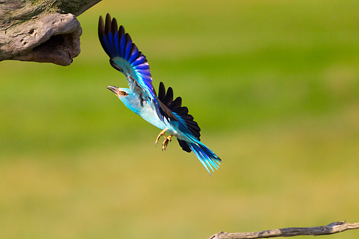 BRD 13 MH0039 01 © Kimball Stock European Roller Flying Toward Tree