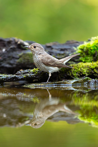 BRD 13 MH0042 01 © Kimball Stock Spotted Flycatcher Standing On Moss-Covered Wood By Water