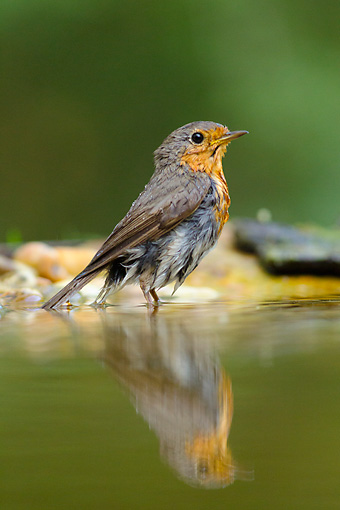 BRD 13 MH0044 01 © Kimball Stock Portrait Of European Robin Standing In Shallow Water