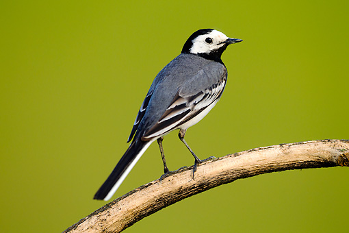 BRD 13 MH0045 01 © Kimball Stock White Wagtail Perched On Branch
