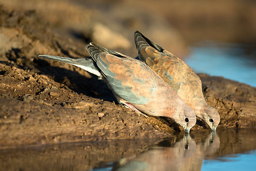 BRD 13 MH0046 01 © Kimball Stock Laughing Doves Drinking At A Waterhole At Mashatu Game Reserve, Botswana