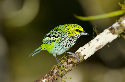 BRD 13 NE0012 01 © Kimball Stock Speckled Tanager Perched On Tree Branch Costa Rica