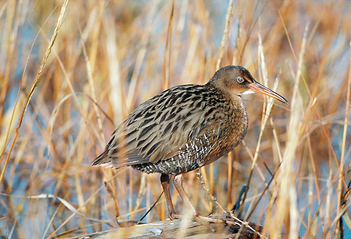 BRD 13 RK0013 07 © Kimball Stock Clapper Rail In Water