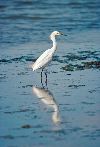BRD 13 RK0049 03 © Kimball Stock Snowy Egret Standing In Marshy Water