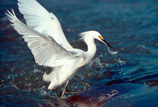 BRD 13 RK0051 06 © Kimball Stock Snowy Egret Standing In Water With Fish In Bill