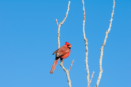 BRD 13 SK0013 01 © Kimball Stock Northern Cardinal Male Perched On Tree Branch