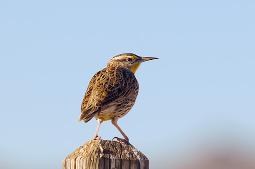 BRD 13 SK0015 01 © Kimball Stock Cactus Wren Perched On Fence Post