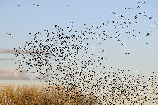 BRD 13 SK0016 01 © Kimball Stock Flock Of Red-Winged Blackbirds Flying Over Farm Field