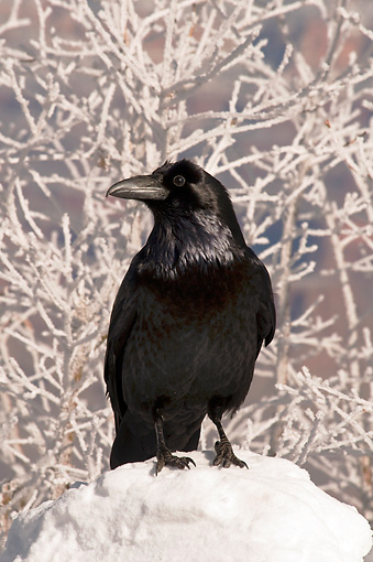 BRD 13 SK0017 01 © Kimball Stock Common Raven Standing In Snow