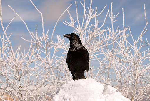 BRD 13 SK0018 01 © Kimball Stock Common Raven Standing In Snow