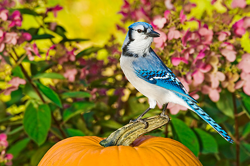 BRD 13 TK0020 01 © Kimball Stock Blue Jay Sitting On Pumpkin By Pink Flowers