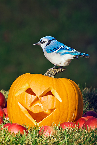BRD 13 TK0024 01 © Kimball Stock Blue Jay Sitting On Jack O'Lantern On Grass With Apples