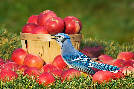 BRD 13 TK0025 01 © Kimball Stock Blue Jay Sitting On Grass With Apples