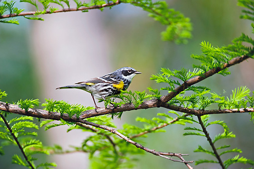 BRD 13 TK0026 01 © Kimball Stock Yellow-Rumped Warbler Perching On Branch