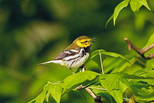 BRD 13 TK0031 01 © Kimball Stock Black-Throated Green Warbler Perching On Branch Singing