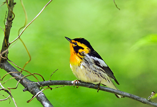 BRD 13 TK0033 01 © Kimball Stock Blackburnian Warbler Perching On Branch
