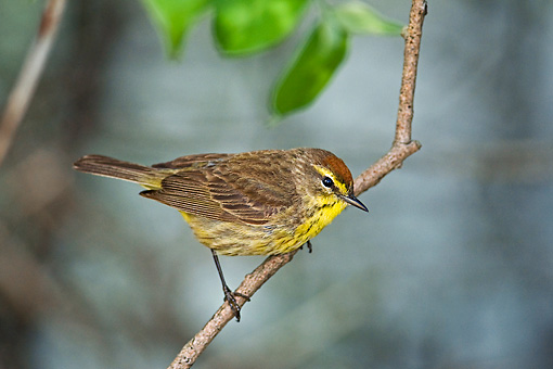 BRD 13 TK0034 01 © Kimball Stock Palm Warbler Perching On Branch