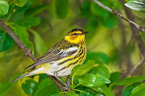 BRD 13 TK0036 01 © Kimball Stock Cape May Warbler Perching On Branch