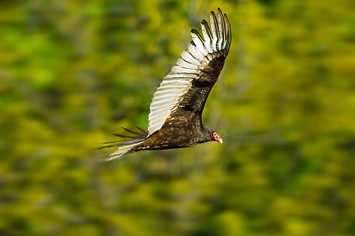 BRD 13 TK0038 01 © Kimball Stock Turkey Vulture Flying