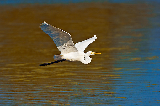 BRD 13 TK0039 01 © Kimball Stock Great Egret Flying Over Water