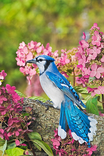 BRD 13 TK0042 01 © Kimball Stock Blue Jay Perched On Branch By Pink Flowers