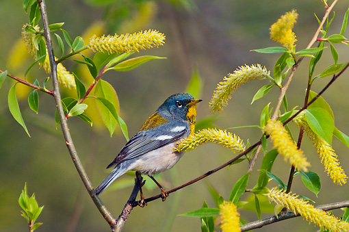 BRD 13 TK0046 01 © Kimball Stock Northern Parula Warbler Male Perched On Willow Catkins