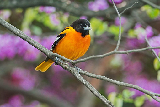 BRD 13 TK0047 01 © Kimball Stock Northern Oriole Male In Breeding Plumage Perched In Spring Redbud Tree