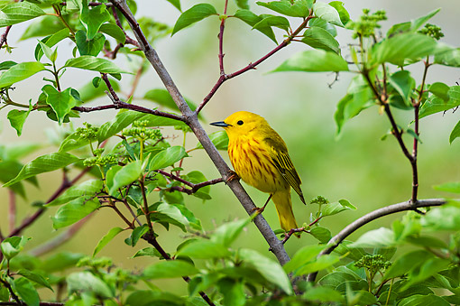 BRD 13 TK0048 01 © Kimball Stock Yellow Warbler Male Perched On Branch In Spring