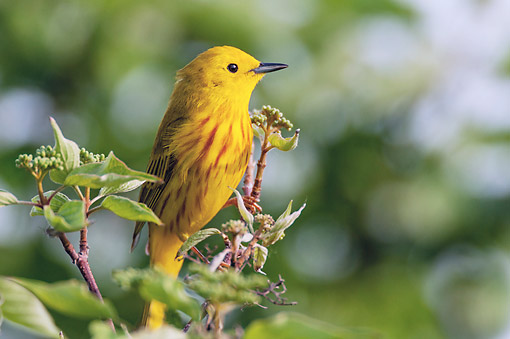 BRD 13 TK0049 01 © Kimball Stock Yellow Warbler Male Perched On Plant In Spring